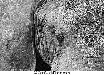 African Elephant (Loxodonta Africana) Close-up, Serengeti,...