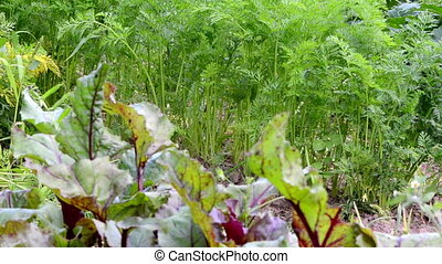 beetroot carrot leaf - natural organic ecologic beetroot and...