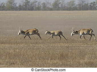 Saiga running through the steppe - Saiga running through the...