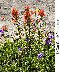 Wildflowers Close Up Red Indian Paint Brush Purple Larkspur...
