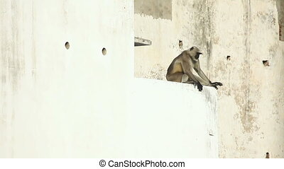 Langur. - Langur sitting on the ledge of the building.