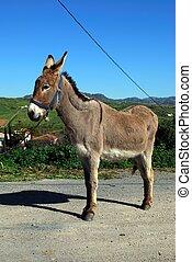 Tethered donkey, Andalusia. - Tethered donkey, near Alora,...