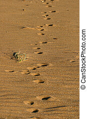 Fox tracks on a sandy beach in Australia