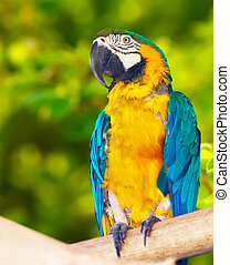 Red-and-green Macaw (Ara chloropterus)  in wildness area