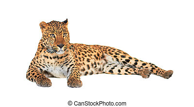 Leopard, Panthera pardus, on white background, studio shot