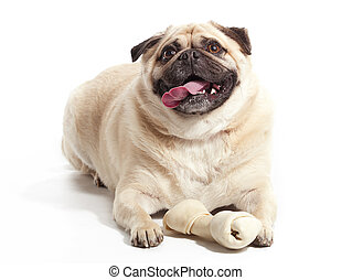 Dog and Bone - A pug laying on floor with a bone