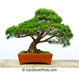 Bonsai pine tree against a white wall