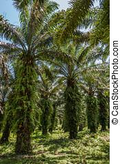 aceite, Palma, plantación