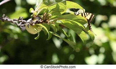 butterfly on plum tree - a swallowtail butterfly is blown...