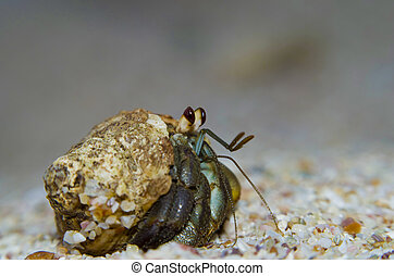 Closeup of hermit crab - Hermit crab walking on sand