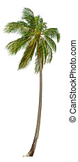 Coconut palm tree isolated on white background XXL size