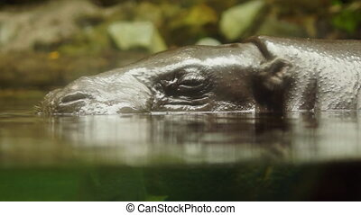 Hippopotamus - close-up
