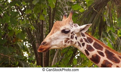 Giraffe - close-up