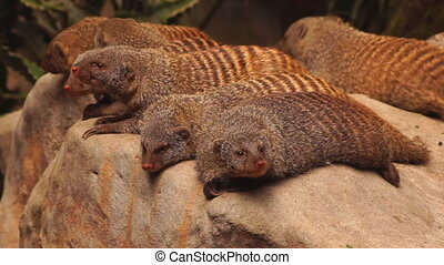 Mongooses - close-up