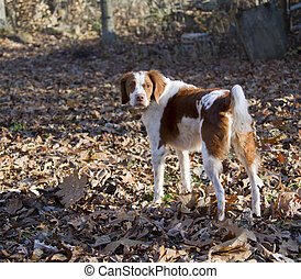 Bert the brown and white Brittany Spaniel