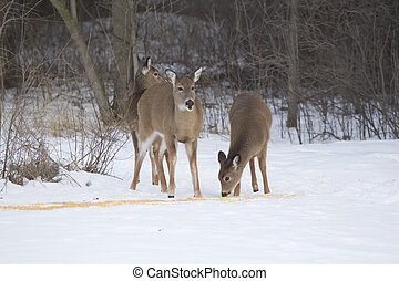 Doe and Two Fawn Whitetail Deer at Corn - Three Whitetail...