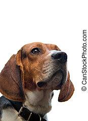 Isolated Beagle