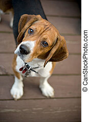Curious Beagle - A young beagle dog tilting his head out of...
