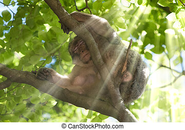 barbary ape - takes a rest