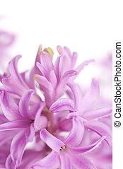 purple hyacinth isolated on white background. Shallow DOF