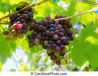 grape on tree - Purple Grapes Clustered on the Vine on tree