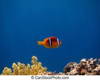 anemonefish - little anemonefish clownfish nemo with blue...