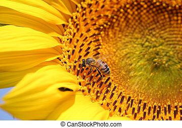 abelha, girassol, verão, natureza, cena