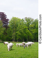 thick bill cows in the fields - thick bill meat cows outdoor...