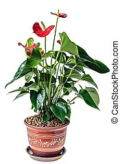 Red anthurium in a pot, isolated on white background