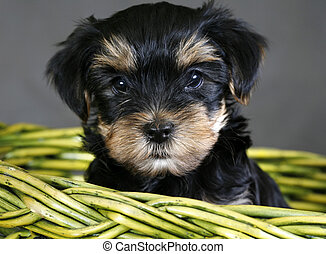 Yorkshire terrier - Baby of the yorkshire terrier in a green...
