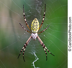 European white - yellow spider with green background (...