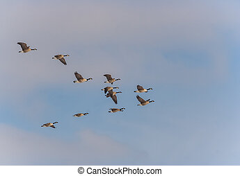 Migrating geese - Canadian geese flying in formation in the...