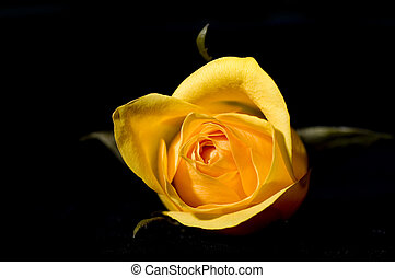 yellow rose - bud of yellow rose on black background