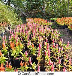 Pink Plumed Celosia Flower in garden