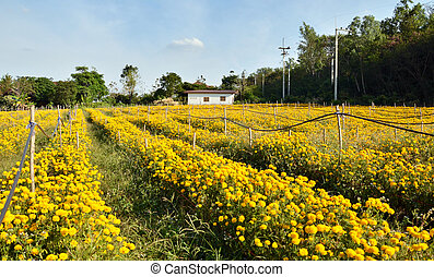 marigold farm fully harvest at KaoYai, Thailand