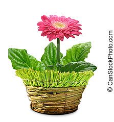Gerbera in a decorative pot