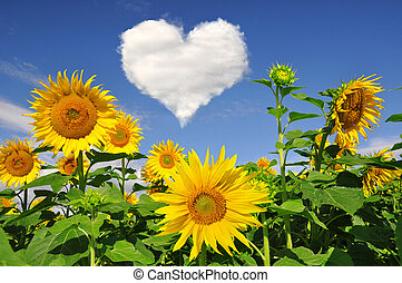 sunflower field with heart from clouds
