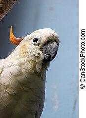 Citron-crested cockatoo Cacatua sulphurea citrinocristata