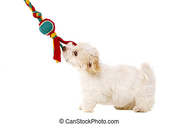 Puppy pulling toy isolated on a white background - Playful...