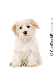 Puppy sat isolated on a white background - Bichon Frise...
