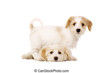 Puppies playing isolated on a white background - Two Bichon...