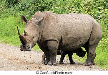 White Rhino Ceratotherium simum With Calf, Lake Nakuru,...