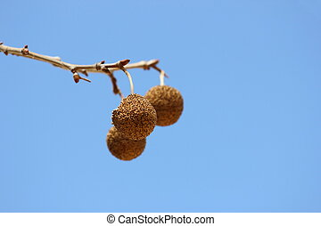 Sycamore Seeds - Close up view of sycamore tree seeds during...