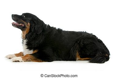 bernese mountain dog laying down looking up isolated on...