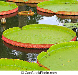 Victoria amazonica Lotus leaf green background