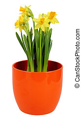 Fresh Daffodils flower in orange flowerpot, isolated on...