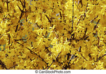 in blossom - Detail of the full-blown branch of forsythia