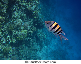 striped sergeant - small striped sergeant in the red sea