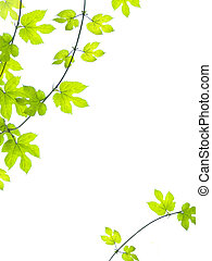 Green vine leaves background - Grean, vine leaves in summer...