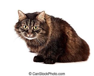 velloso, enojado, gato